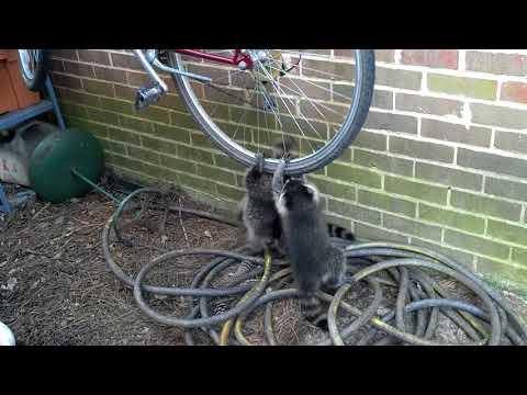 Raccoons hanging off bike