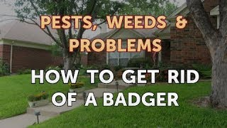 How to Get Rid of a Badger