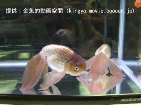 [津軽錦(ツガルニシキ)]第27回日本観賞魚フェア