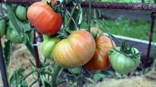 Уникальный способ полива томатов  Итоги первого применения
