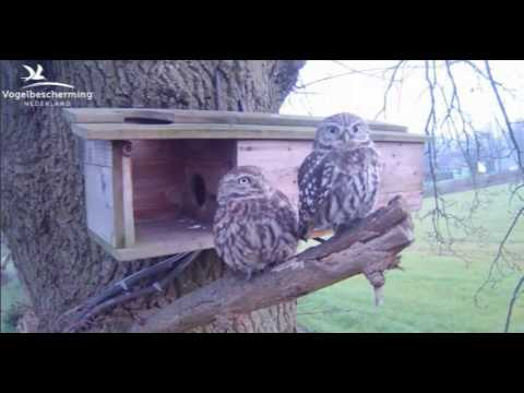 Little Owls Family 1: Couple on the Branch - 01.04.17
