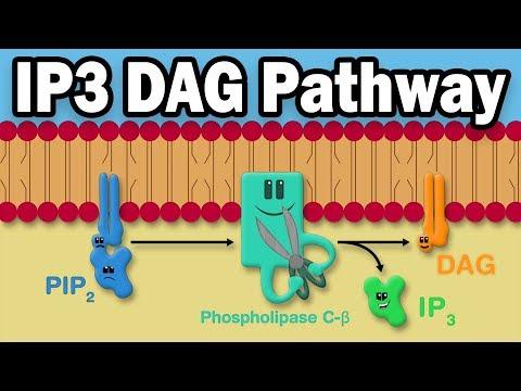 IP3 DAG Calcium Pathway