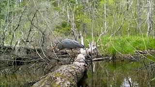 The Log - a look at wetland wildlife.