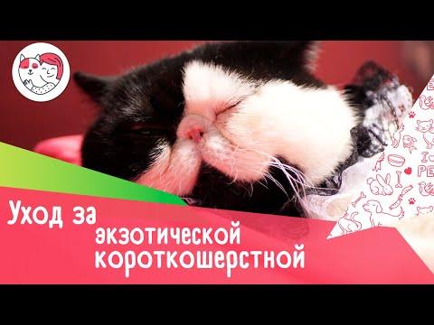 5 особенностей ухода за экзотической короткошерстной кошкой
