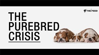 The Purebred Crisis: How dogs are being deformed in the name of fashion