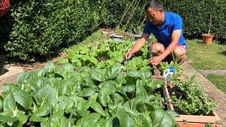 How to grow vegetables in UK's small garden. Nepali growing vegetable in UK. Nepali Family UK.
