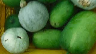 「今日もあなたと百姓一揆!」~旬の有機野菜収穫編@冬瓜(とうがん)収穫編