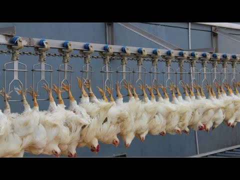 Incredible modern chicken processing factory. Amazing automatic poultry egg harvesting technology