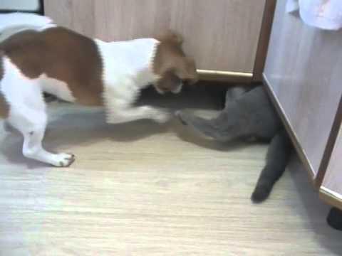 Британский кот Федя и джек рассел терьер Тася