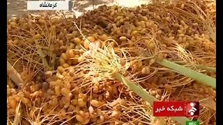 preview picture of video 'Iran Ghasr-e Shirin, The Golden Palm Dates land برداشت خرما از نخلستانهاي قصرشيرين'