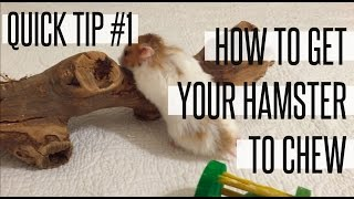 HOW TO GET YOUR HAMSTER TO CHEW | QUICK TIP #1