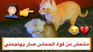 القط مشمش ولعبه المجنون مع ولد القطه ميلا 😂💔/ Mohamed Vlog
