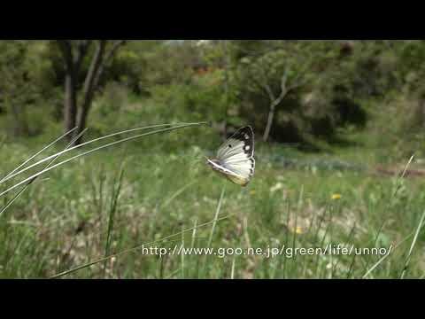 産卵して飛び立つ庭のモンキチョウ  Eastern pale clouded yellow
