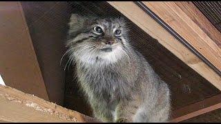 イライラしているマヌルネコの母親 タビーIrritated Pallas's Cat