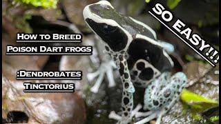 How To Breed Poison Dart Frogs: Dendrobates Tinctorius
