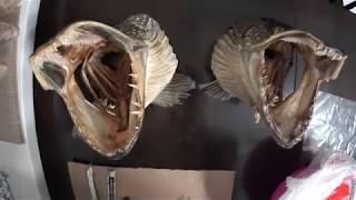 Как сделать чучело из головы щуки