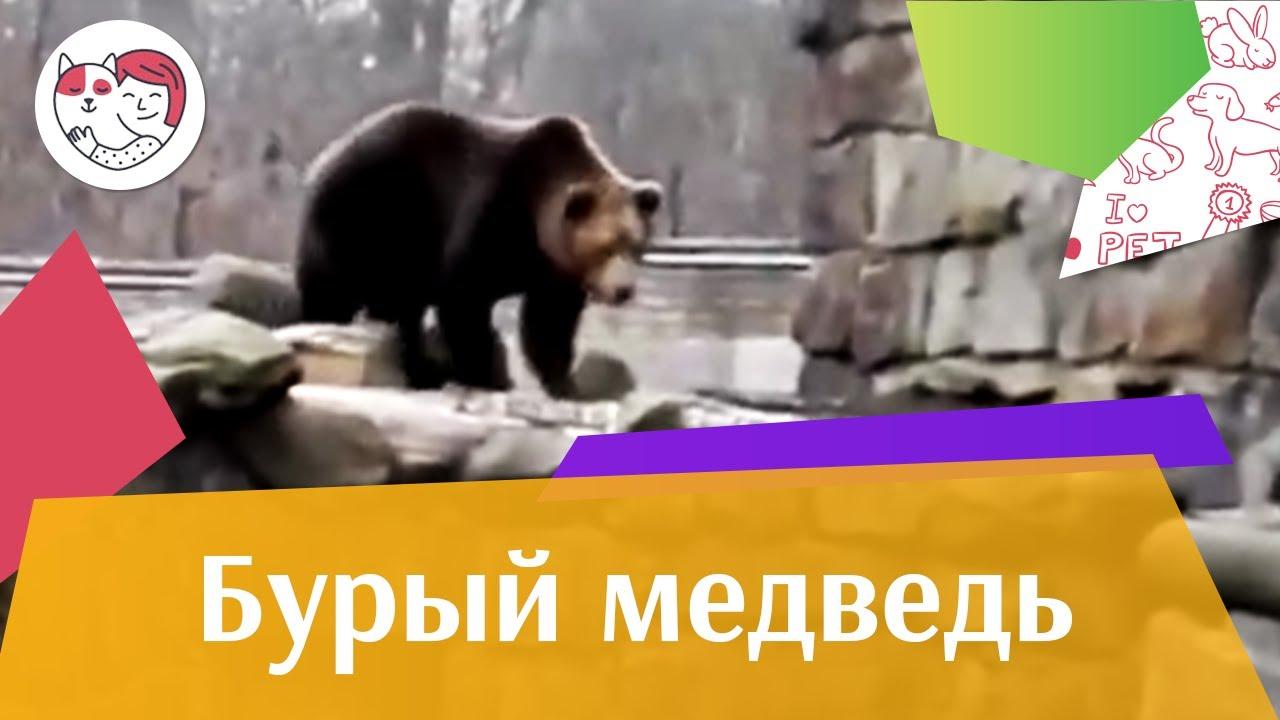 Бурый медведь на ilikepet