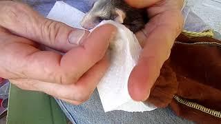 Feeding an orphaned baby opossum.