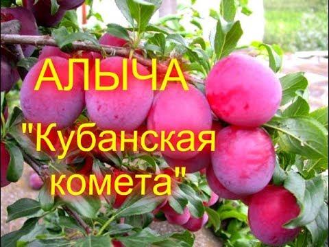 """ОБЗОР//АЛЫЧА """"КУБАНСКАЯ КОМЕТА""""//МОЯ ЛЮБИМАЯ УСАДЬБА"""