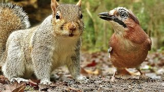 Bird Sounds and Video for Cats to Watch : Forest Birds and Squirrels