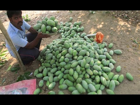 Cooking Fresh Mango Rice in My Village | Prepared by my Mummy | VILLAGE FOOD