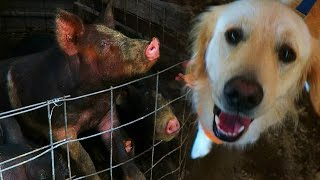 COOPER MEETS FARM ANIMALS! (Super Cooper Sunday #68)