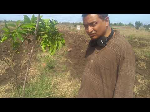 Training a mango plant