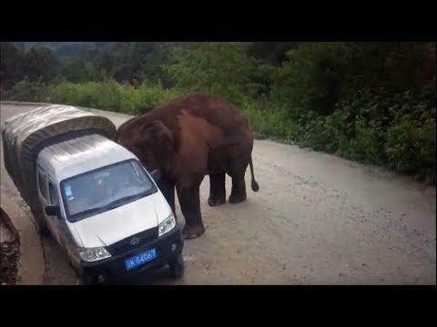 Слон разбил лобовое стекло в автобусе