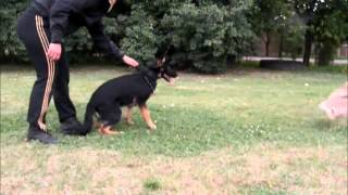 MRAZOVAC K9-PERSONAL PROTECTION DOGS,FAMILY PROTECTION DOGS