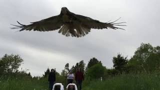 Red Tailed Hawk Pair Release - Amherst