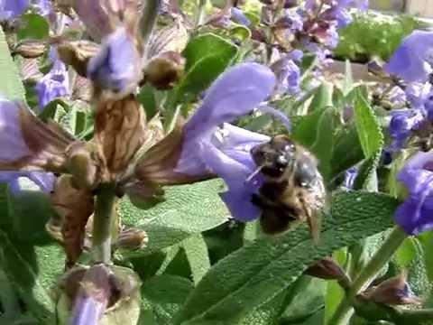 Ballade d'une abeille sur les fleurs de sauge