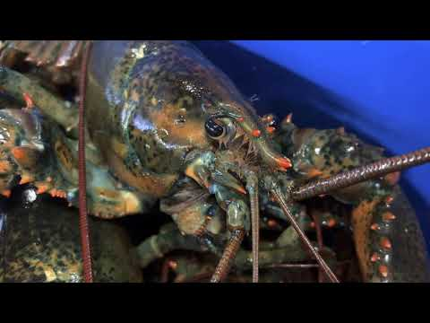 EU rebuffs American pitch of quick deal for more lobsters