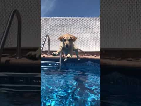 Funny Dog Jumps Into Pool #shorts