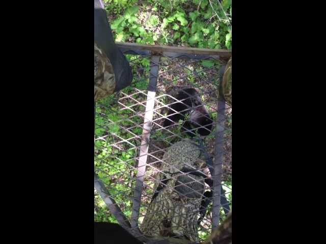 Bear under tree stand
