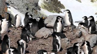 Macaroni Penguin in a Chinstrap Penguin Colony