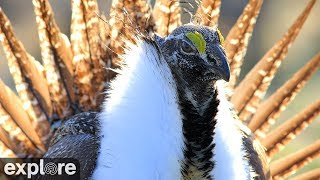 Sage Grouse Lek Cam powered by Explore.org