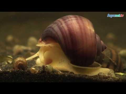 Wie die subkutanen Würmer beim Menschen zu behandeln
