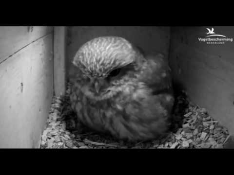 Little Owls Family 1: Second Egg - 03.04.17