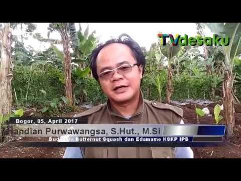 Video KSKP-IPB Gelar Pelatihan Budidaya Butternut Squash dan Edamame di Tamansari