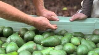 Avocado harvesting: The picker's guide