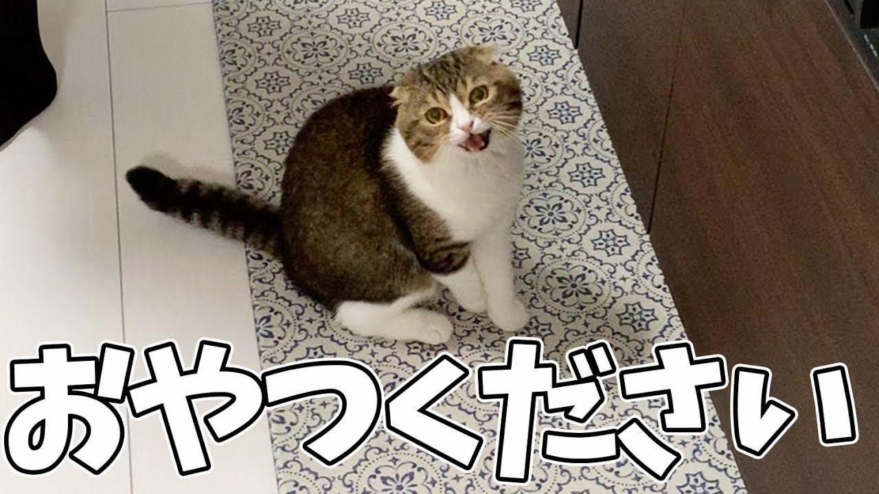 【猫】おやつください!!!【スコティッシュフォールド】
