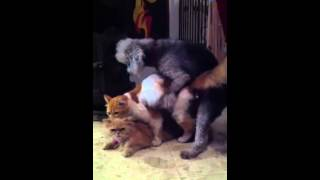 Small Dog Mating Cats Breeding