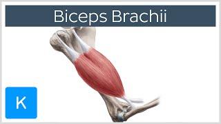Biceps Brachii Muscle - Origins & Actions - Human Anatomy |Kenhub