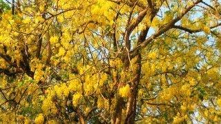 Golden Shower Tree in Full Bloom