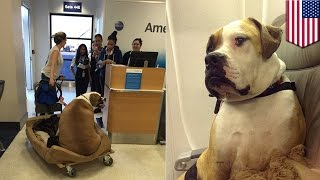 Dog on a plane: Ex-Playboy Playmate buys first class airplane ticket for her obese dog - TomoNews