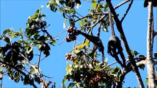 Endangered Peruvian Black Spider Monkey Foraging in Peru Amazon