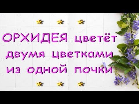 У ОРХИДЕИ 2 цветоножки из 1 почки и цветы-мутанты.