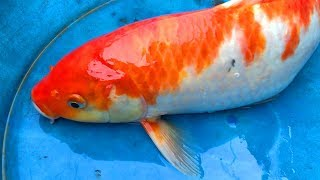 Koi Fish Vs Golden Carp Fish | Simple Countryside Life