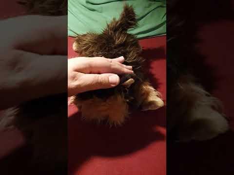 Hideg orrú interaktív yorki kutyus (meghosszabbítva: 3033726248) - Vatera.hu Kép