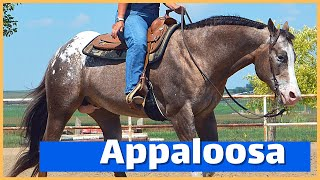 About The Appaloosa Horse | DiscoverTheHorse